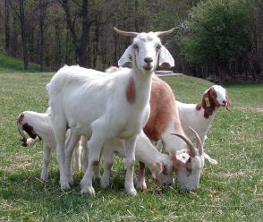 Cinci capre pentru 24 de familii din comuna Iara, acordate de fundaţia World Vision Romania!