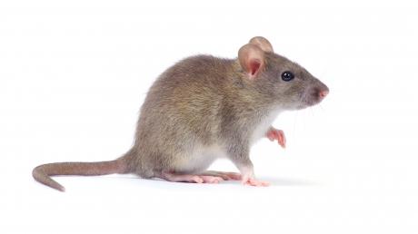 Un şobolan a tăiat curentul la centrala nucleară de la Fukushima