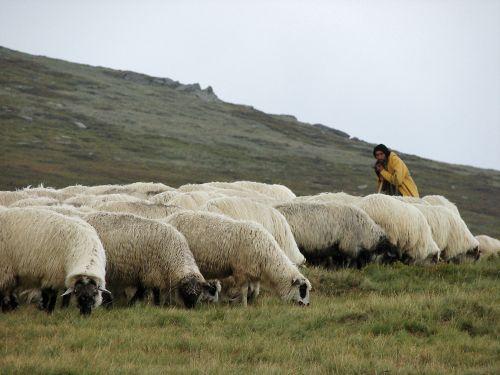 Smecher de Cluj. A intrat cu SUV-ul personal intr-o turma de oi pentru ca-i deranjau privelistea