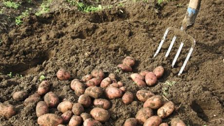 Un kilogram de cartofi ar putea costa 1 euro din aceasta iarna