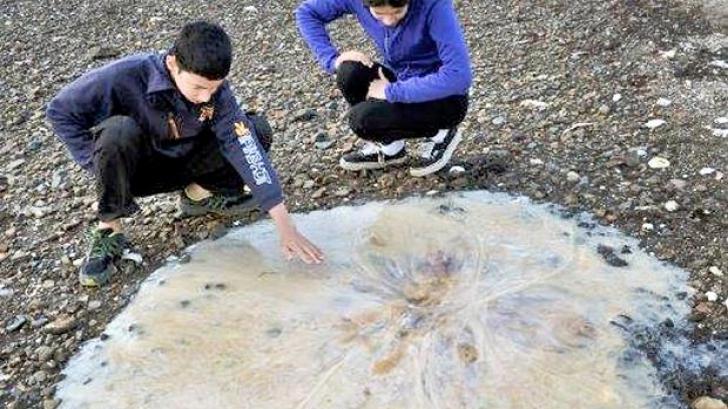 Meduza uriasa, descoperită pe o plajă din Australia. FOTO