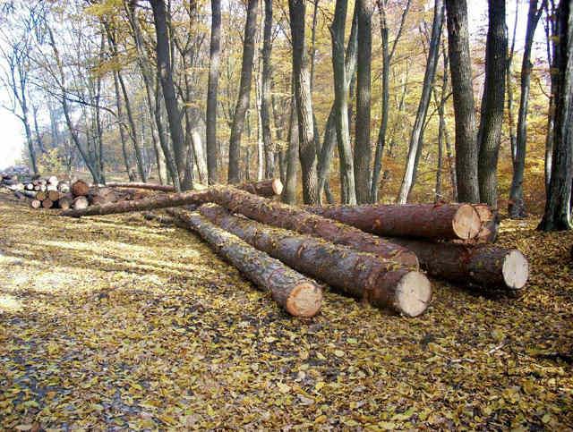 Un pădurar si-a dat demisia de la Ocolul Silvic Muntele Mare de frica hotilor de lemne