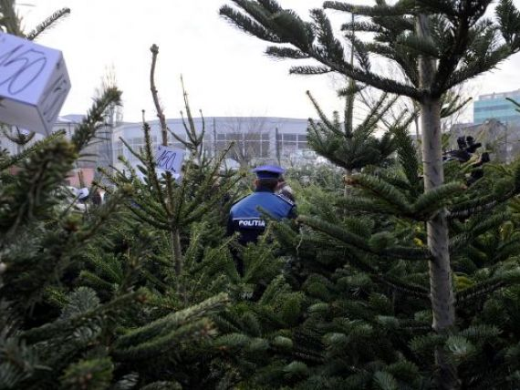 100 de brazi de Crăciun au fost confiscați de polițiștii clujeni