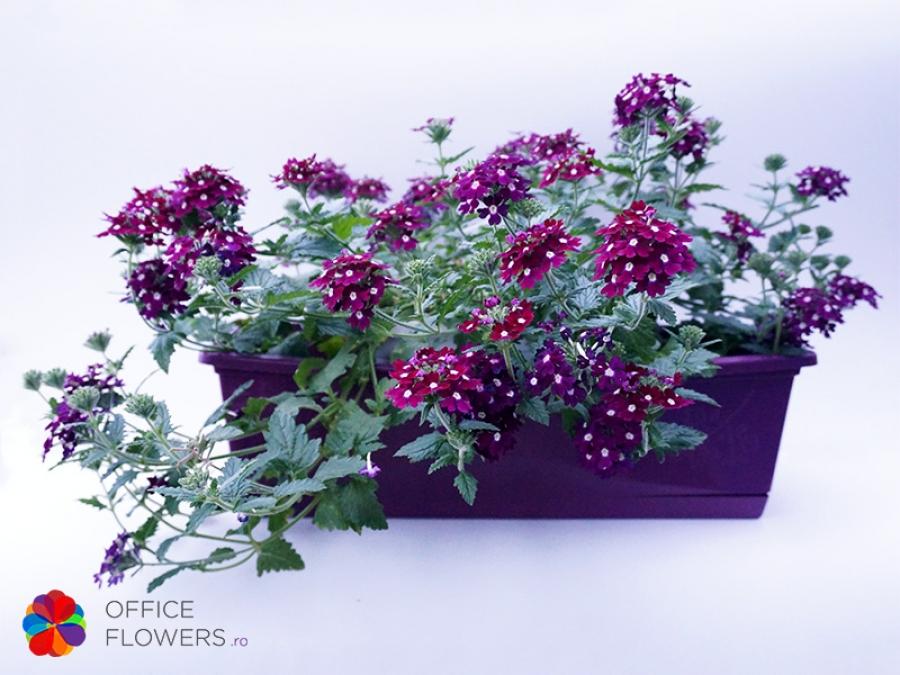jardiniera-mov-verbena
