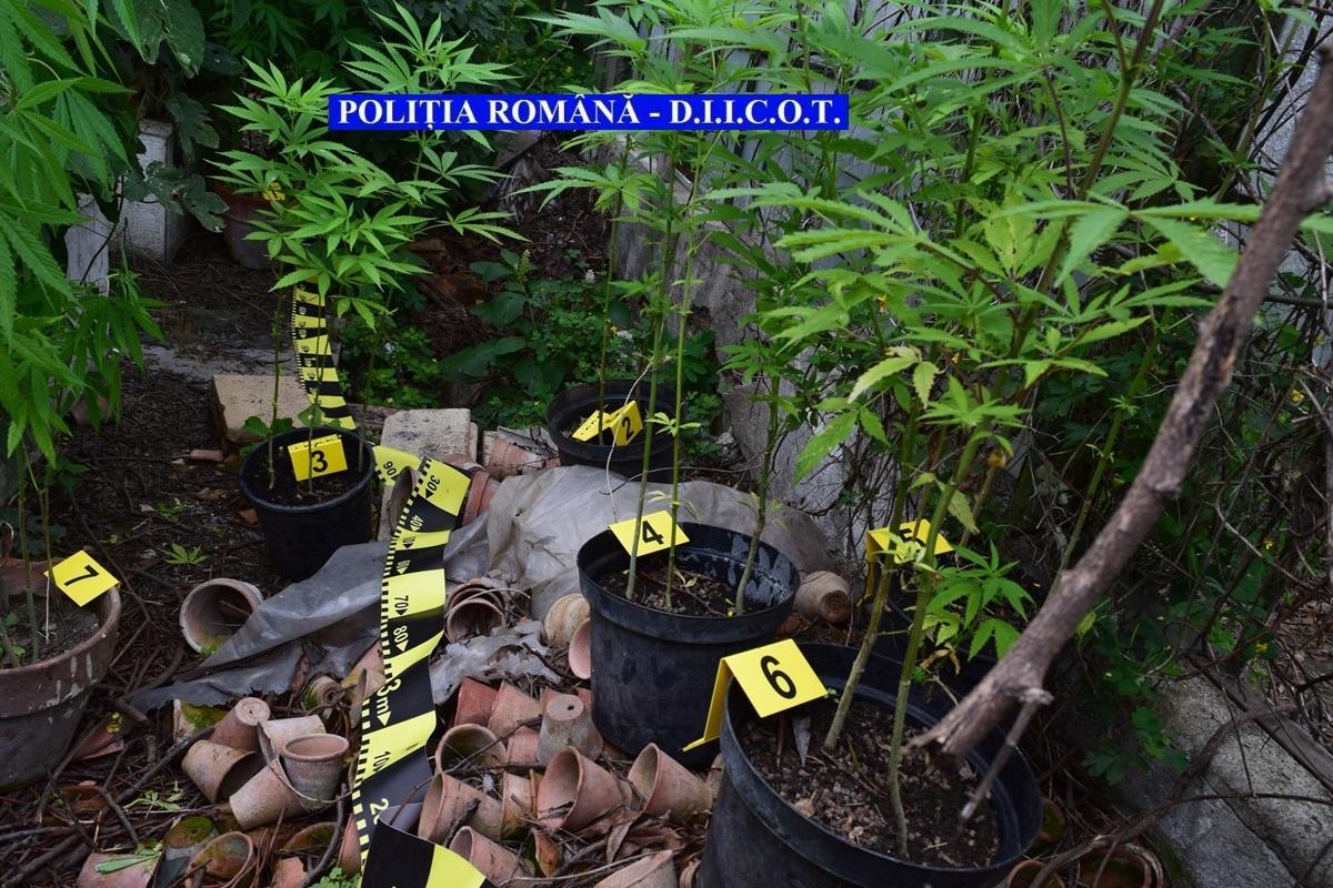 Polițiștii clujeni au prins doi bărbați care creșteau cannabis la sediul companiei lor