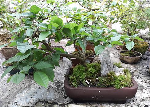 Grădina Botanică din Cluj găzduieşte până duminică o expoziţie de bonsai!