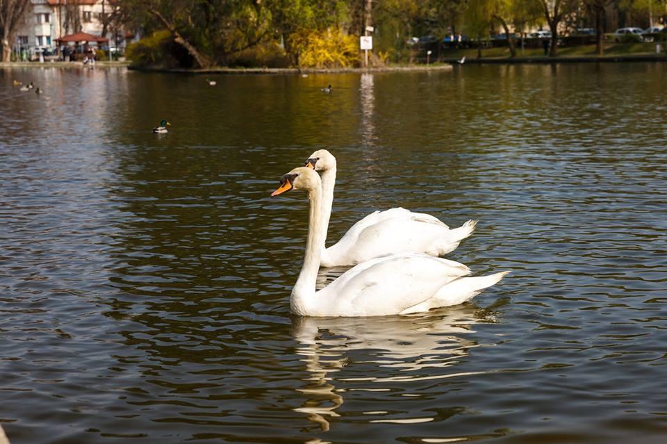 Au revenit lebedele pe lacul Chios din Parcul Central!