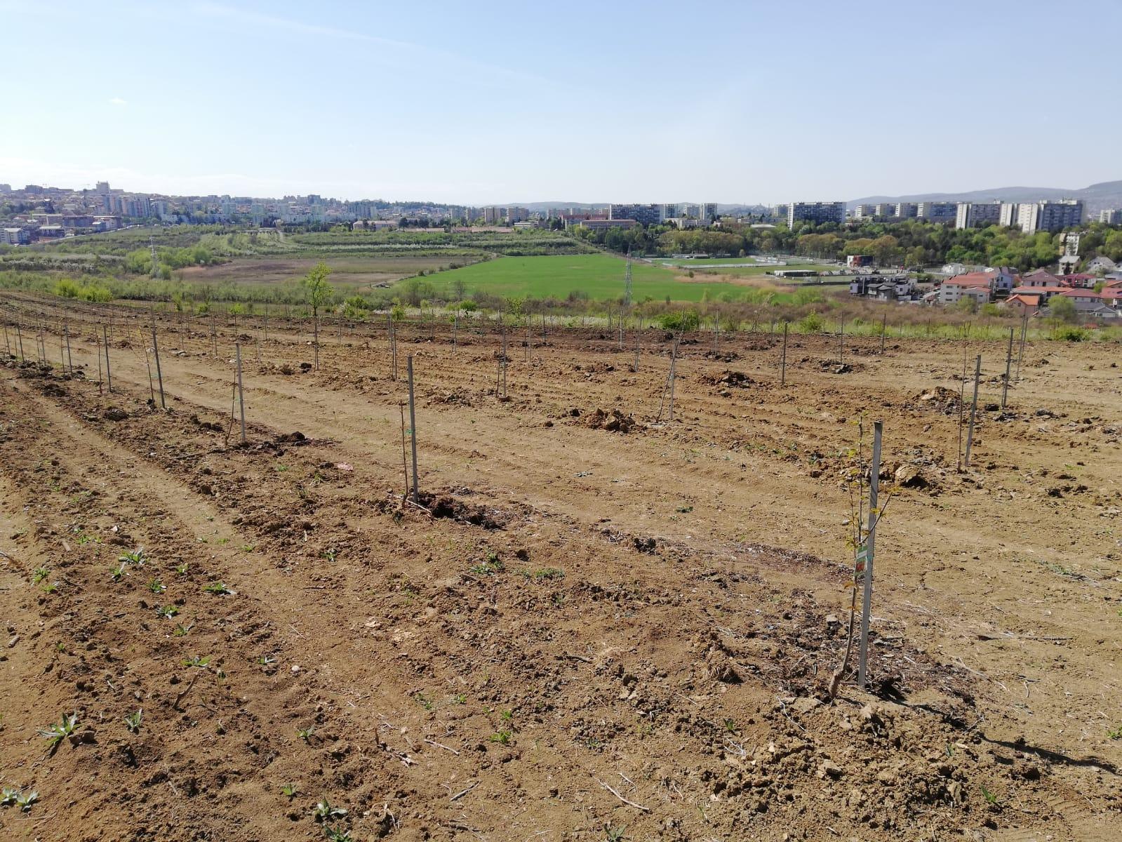 După 24 de ani, plantație de cireși și pruni înființată pe 3.5 hectare, la Stațiunea de Cercetări Horticole din cadrul USAMV Cluj-Napoca