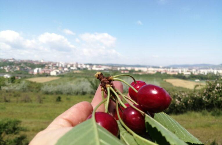 Cireșe din soiurile timpurii Ramon Oliva și Biggareau Moreau, de la Stațiunea de Cercetări Horticole a USAMV Cluj-Napoca, puse în vânzare la magazinele proprii