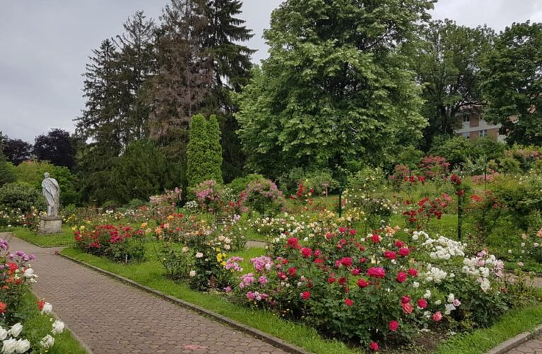 A revenit sezonul trandafirilor în Grădina Botanică din Cluj. Imagini feerice – FOTO