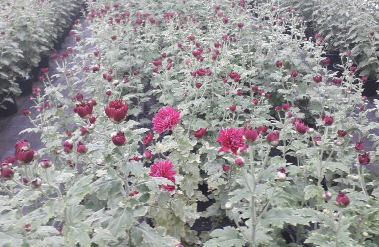 Peste 5.000 de crizanteme la ghiveci, produse în serele USAMV Cluj-Napoca, puse în vânzare la magazinele proprii
