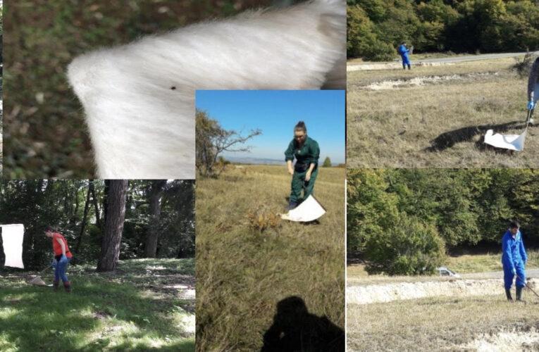 Studiu pe mii de căpușe privind abundența căpușelor în habitatele urbane și periurbane din Cluj-Napoca, derulat timp de doi ani de specialiștii parazitologi de la USAMV Cluj